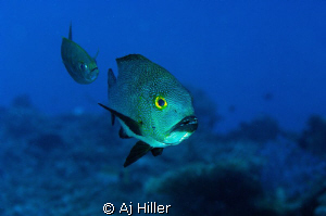 Surgeon fish with sergeant fish in hot pursuit.  Shot wit... by Aj Hiller